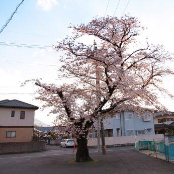 ニイハマ桜パトロール②