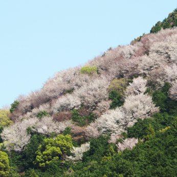 ニイハマ山桜 定点観測