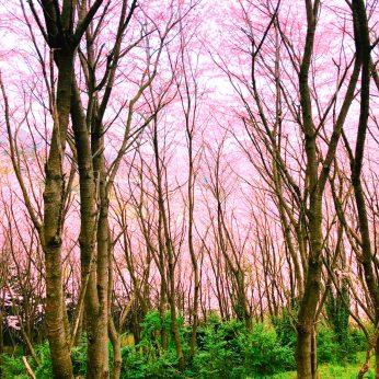 ウキウキ桜ウォッチング