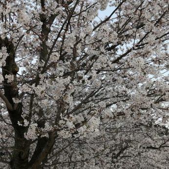 新居浜の春