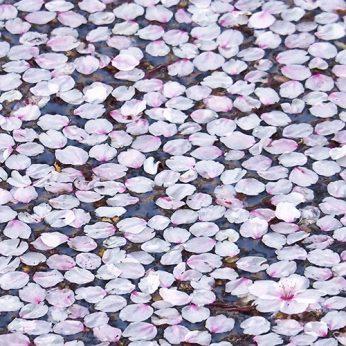 ニイハマ桜パトロール_2020