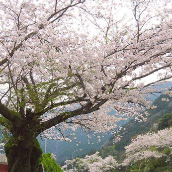 ニイハマ桜パトロール_2020 その②